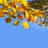Autumnal yellow maple leaves Stock Photography
