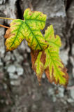 Autumnal yellow  maple leaves Royalty Free Stock Image