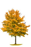 Autumnal yellow maple tree isolated on white background. Autumnal maple tree isolated on white background. Yellow red autumn leaves royalty free stock image