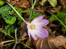 Autumnale de florescência do colchicum, açafrão de outono, nas folhas caídas, foco seletivo Imagens de Stock