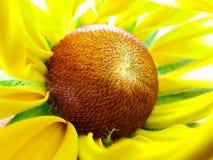 Autumnale de Helenium dans le jardin Fleur rouge et jaune - beau grand gelenium rouge jaune-orange de macro d'aster de fleur Image stock