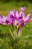 Autumnale del Colchicum - flor del otoño Imagenes de archivo