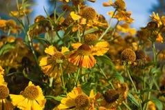 Autumnale del Helenium fotos de archivo
