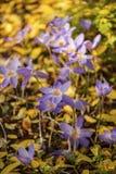 Autumnale do Colchicum, conhecido geralmente como o açafrão de outono Fotografia de Stock