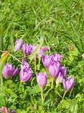 Autumnale do colchicum ou açafrão de outono de florescência, nas folhas caídas, foco seletivo, DOF raso Imagens de Stock Royalty Free