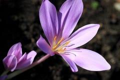 Autumnale do Colchicum, plantas tóxicas e flores Fotografia de Stock Royalty Free