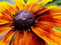 Autumnale do Helenium no jardim Flor vermelha e amarela - grande gelenium amarelo bonito do macro do áster da flor do vermelho al Foto de Stock Royalty Free
