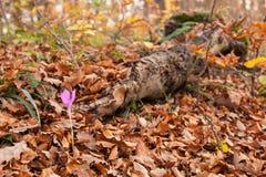 Autumnale för höstblommaColchicum Fotografering för Bildbyråer