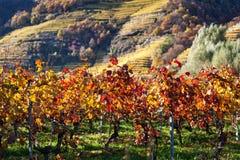 Autumnally a décoloré des vignes Photo stock