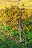 Autumnally decoloró las vides de uva Fotografía de archivo