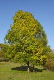 Autumnally drzewo z zieleni i koloru żółtego liśćmi Obraz Royalty Free
