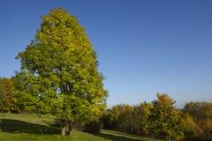 Autumnally drzewo z zieleni i koloru żółtego liśćmi Obraz Stock