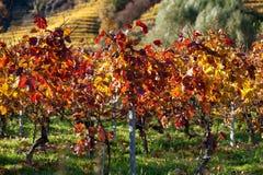 Autumnally entfärbte Weinreben Stockfoto