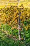 Autumnally ha scolorito le viti Fotografia Stock