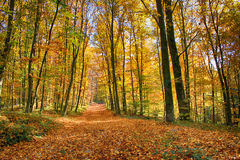 Autumnin the woods. Forest in autumn with beautiful carpet of fallen leaves Stock Photography