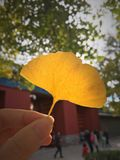 Autumnleaf royaltyfria bilder