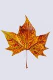 Autumnleaf Imágenes de archivo libres de regalías