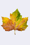 Autumnleaf Royalty-vrije Stock Foto's