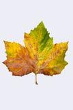 Autumnleaf Fotos de archivo libres de regalías