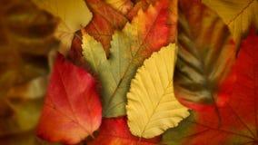 Autumnleaves 4k //4k 60fps美妙的秋叶录影背景圈 影视素材
