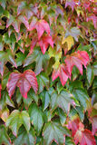 Autumnly colored red leaves. Of virginian creeper Stock Photo
