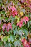 Autumnly ha colorato i fogli rossi Fotografia Stock