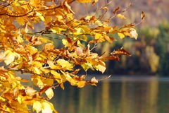 Autumnn leaves. Yellow Royalty Free Stock Image