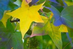 Autumns colour leaves Balingup stock images