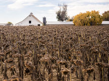 Autumns End. These death of the Sunflower crop in Northern Colorado Stock Images
