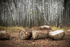 In autumns forest. In autumn russians birch forest royalty free stock photos