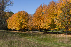 Autumns Golden Colors. Autumn's Golden Colors of the trees in October Royalty Free Stock Image
