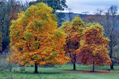 Autumns Golden Impact. A parkland row of trees in autumn with rich golden colours set in the English Lake District Stock Photography
