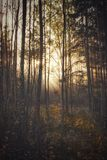 Autumns morning in forest. Soft light of sun in woods royalty free stock images