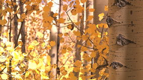 Autumns yellow leaves. Video of autumns yellow leaves stock video