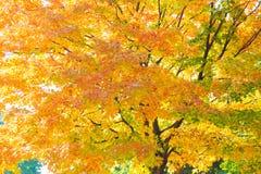 Autumnum glowing maple tree Royalty Free Stock Image