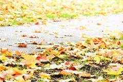 Autumnum golden yellow maple leaves on sidewalk. Fall yellow maple leaves on the ground Stock Photo