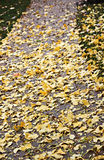 Autumnum yellow ginkgo tree leaves on sidewalk. Fall yellow leaves covering sidewalk Stock Photography