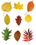 Autumny leaves isolated. Collection of colorful autumn leaves on white background Stock Images