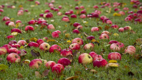 Autums apples. Red autumn apples on the ground stock photography