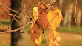 Autums leafs. Waft to leaf fall. Park Dendrarium stock video footage