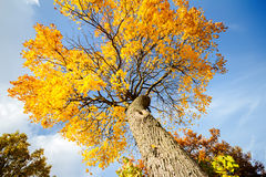 Autunm drzewo Zdjęcie Royalty Free