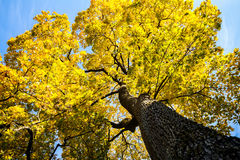 Autunm tree Royalty Free Stock Images