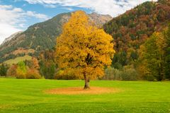 Autunm tree in a golf park royalty free stock photo