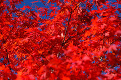 Autunno - acero rosso Immagine Stock Libera da Diritti