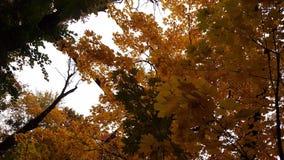 Autunno Alberi Lotti dei rami con le foglie gialle Immagini Stock