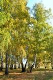 Autunno in anticipo del paesaggio Radura con erba e le foglie gialle sui precedenti degli alberi di betulla di autunno illuminati Fotografie Stock