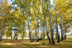 Autunno in anticipo del paesaggio Radura con erba e le foglie gialle sui precedenti degli alberi di betulla di autunno illuminati Fotografia Stock Libera da Diritti
