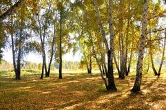 Autunno in anticipo del paesaggio Radura con erba e le foglie gialle sui precedenti degli alberi di betulla di autunno illuminati Immagini Stock