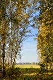 Autunno in anticipo del paesaggio Radura con erba e le foglie gialle sui precedenti del boschetto della betulla di autunno nel ca Immagine Stock