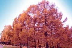 Autunno, conifere dorate, larice Immagini Stock Libere da Diritti